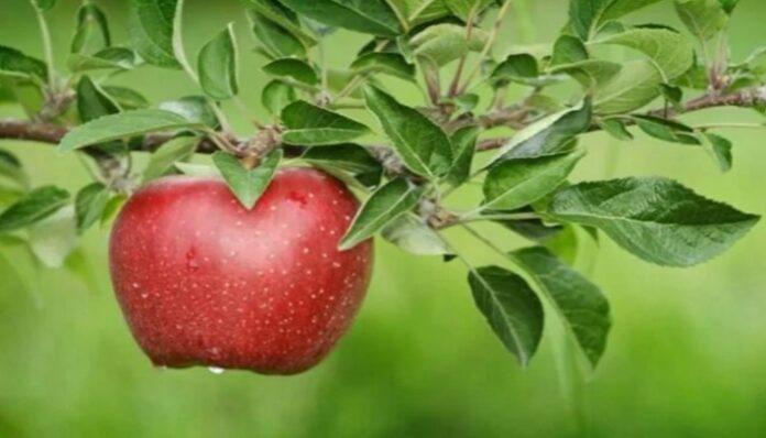 सेब खाने से होते हैं यह फायदे, इन बीमारियों से मिलती है राहत health tips in hindi